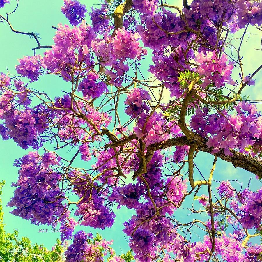 Jane's Jacaranda Tree Photograph by VIVA Anderson