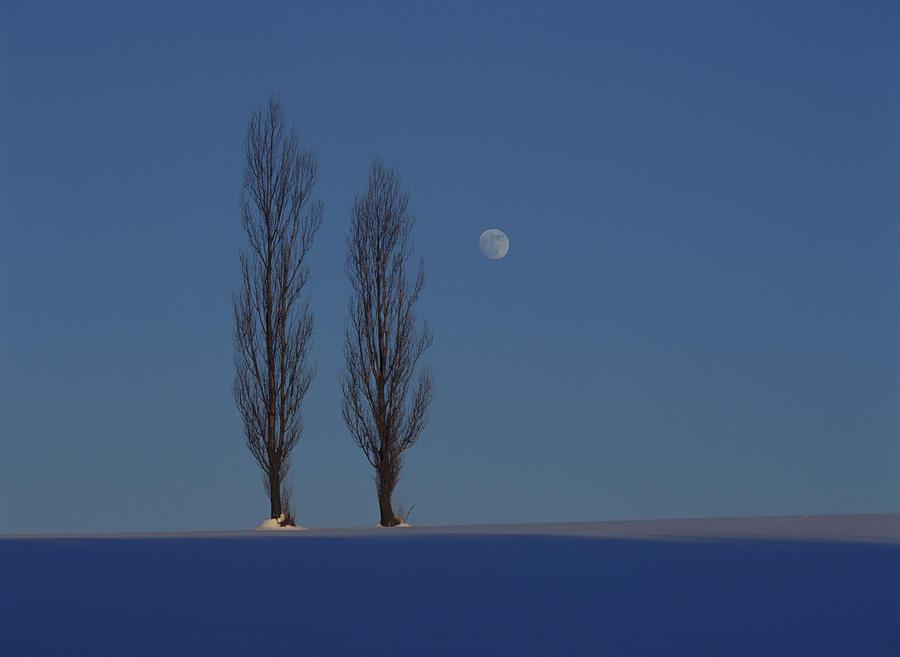 Japan, Hokkaido, Poplar Trees On Snow Photograph by Ryoji Takai