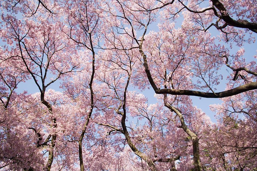 Japan, Nagano, Cherry Tree Blossoming Photograph by Akira Kaede