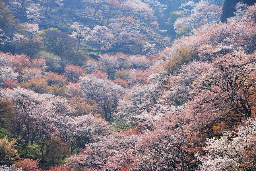 Japan, Nara, Yoshino, Cherry Blossom On Photograph by Imagewerks