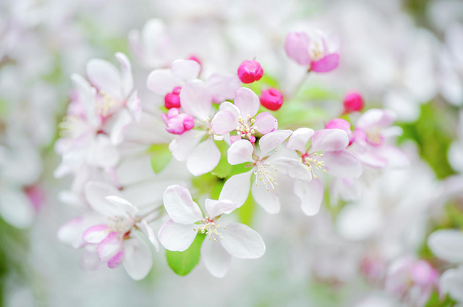 Japanese Crab Apple Blossom Photograph by Jacky Parker Photography