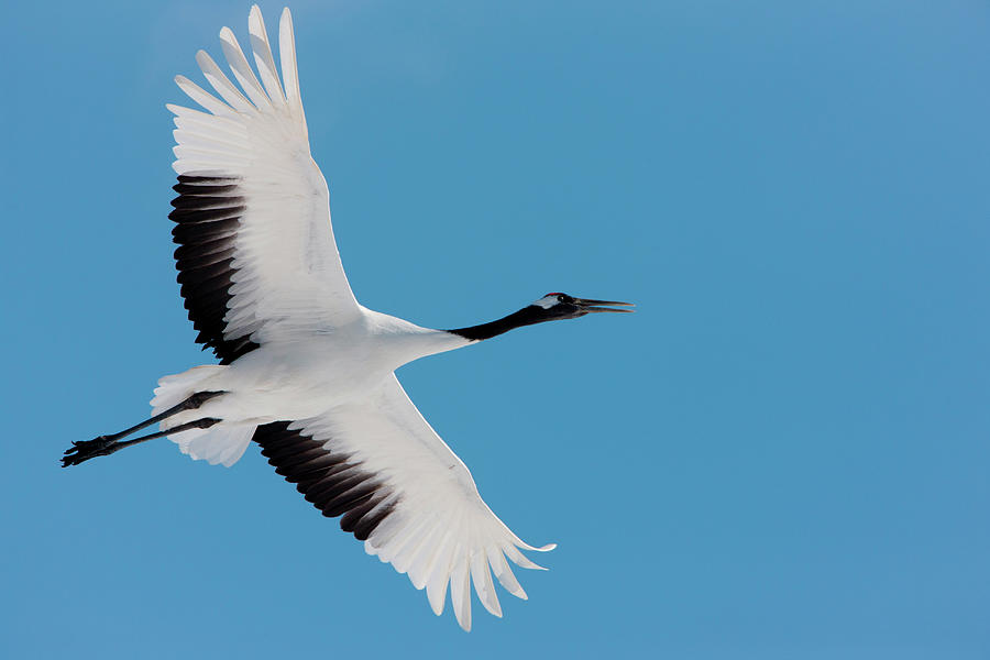 Japanese Crane, Hokkaido, Japan Photograph by Mint Images/ Art Wolfe