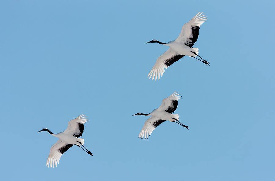 Japanese Cranes, Hokkaido, Japan Photograph by Mint Images/ Art Wolfe
