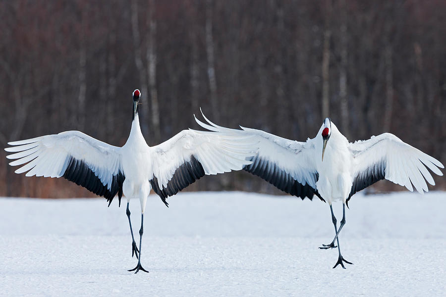 Japanese Cranes Standing Upright Photograph by Mint Images - Art Wolfe