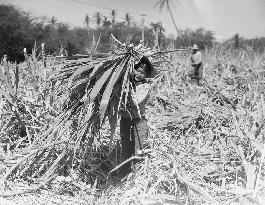 Japanese Cutting Sugar Cane On Maui Photograph by Bettmann