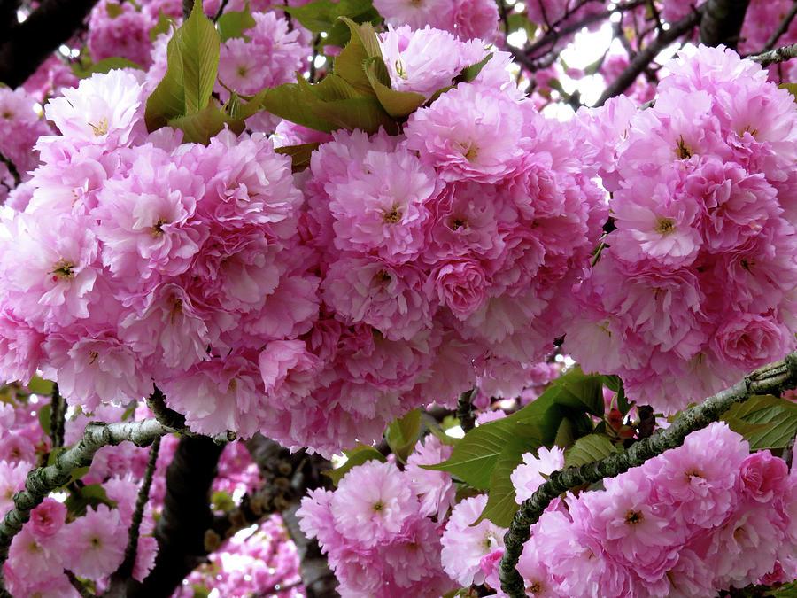 Japanese Flowering Cherry Tree Photograph By Linda Stern