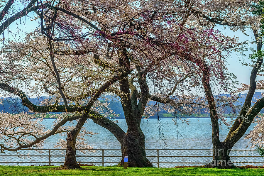 Japanese Flowering Cherry Trees Photograph By Thomas R Fletcher