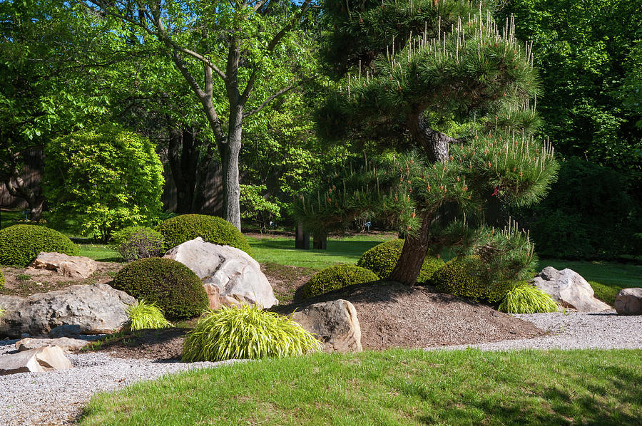 Japanese Garden With Decorative Pine Tree And Rocks Photograph By