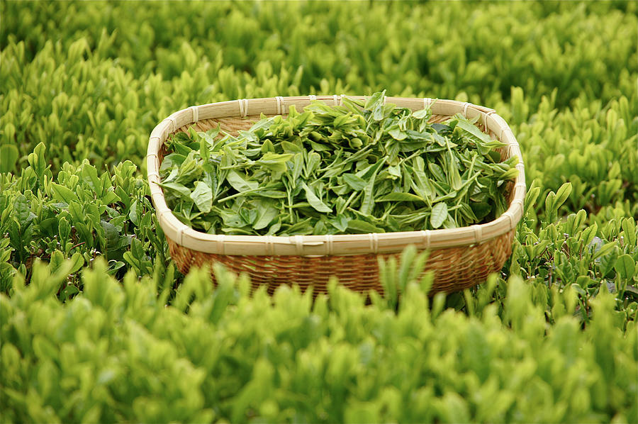 Pictures Of Green Tea Leaves