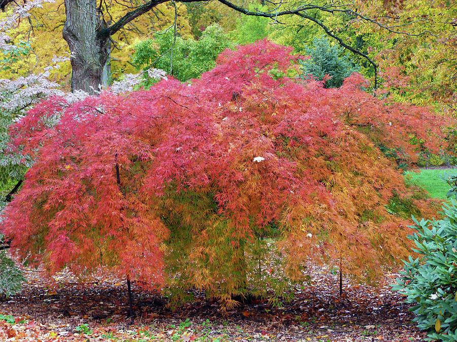 Japanese Laceleaf Maple Tree by Toni Leland