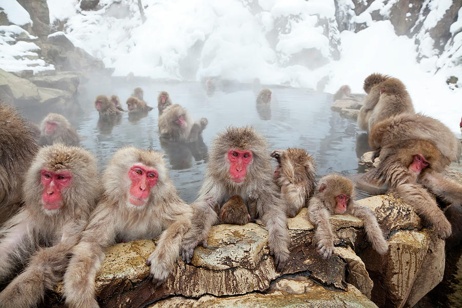 Japanese Macaques Or Snow Monkeys, Japan Photograph by Peter Adams
