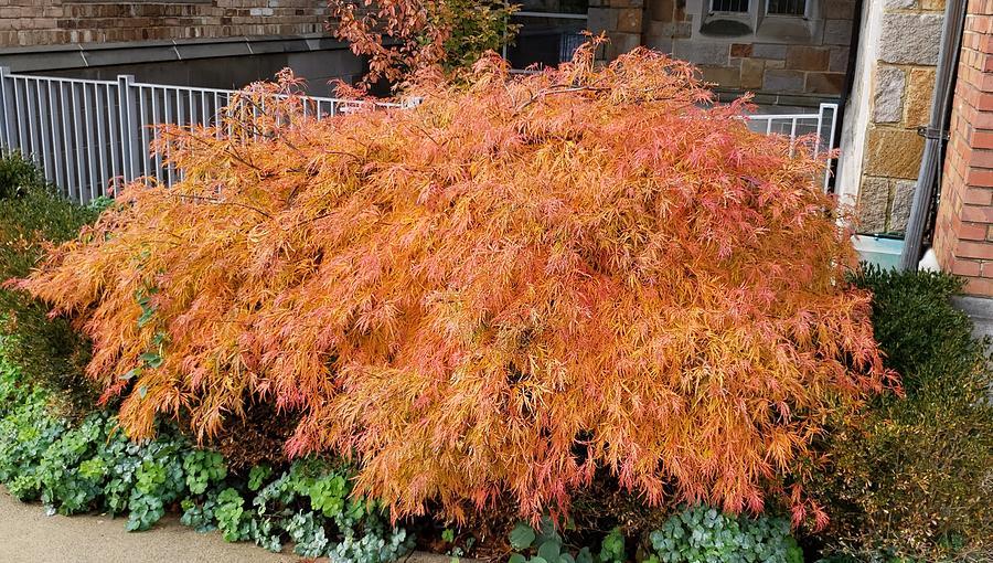 Japanese Maple In Fall Color Digital Art By Lauren Lanphear
