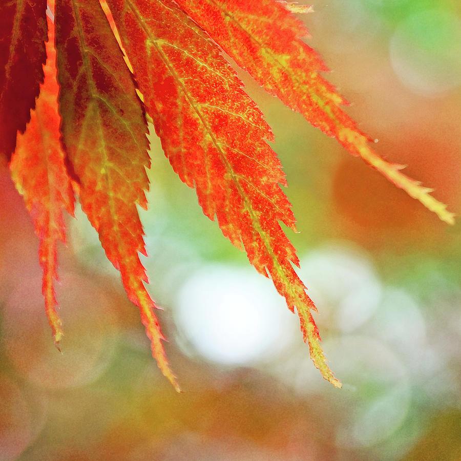 Japanese Maple Photograph by Nichola Sarah