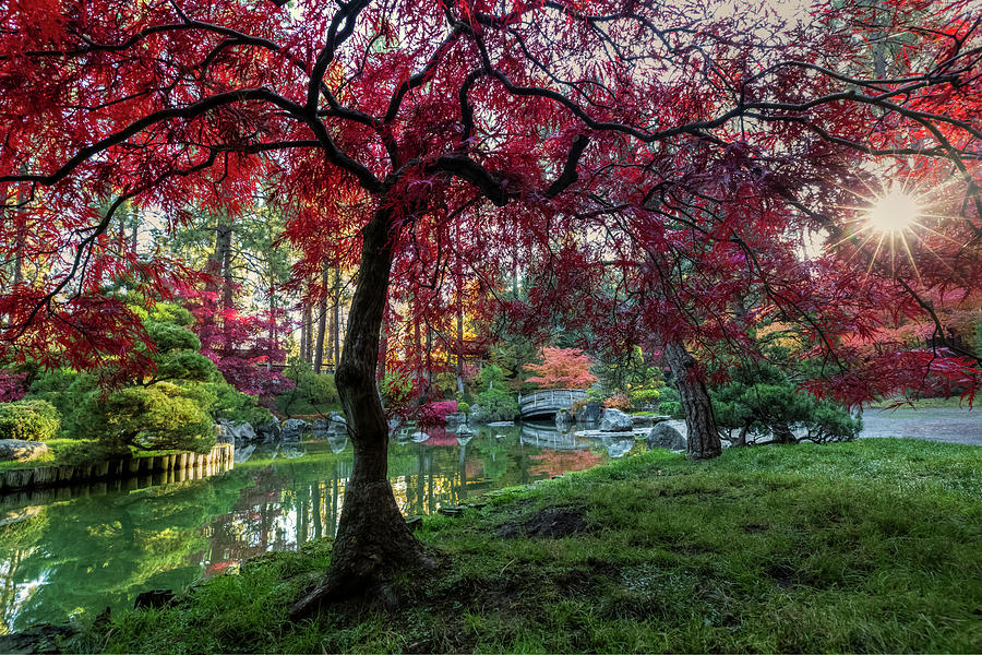 Japanese Maple Sunburst by Mark Kiver