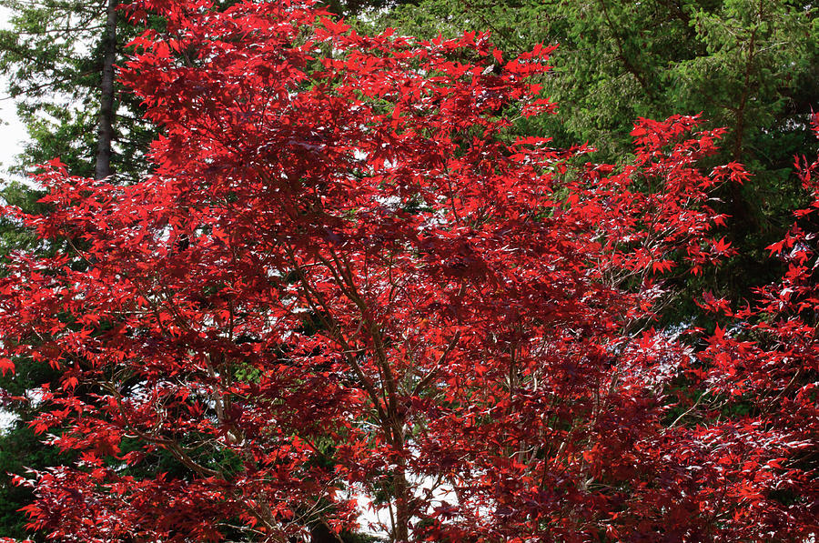 Japanese Maple by Tikvah's Hope