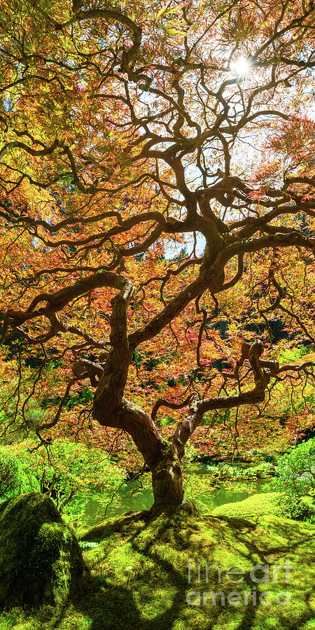 Japanese Maple Tree Portrait Panorama Photograph