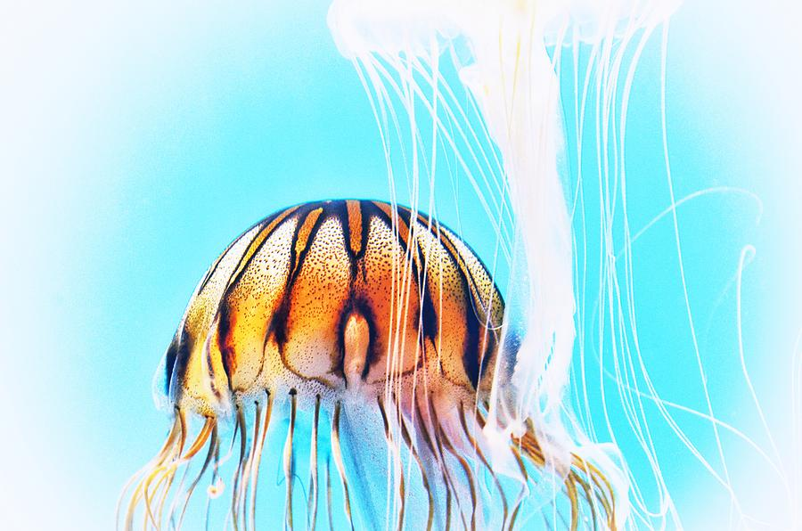 Japanese Sea Nettles Jellyfish #2 by Marianna Mills