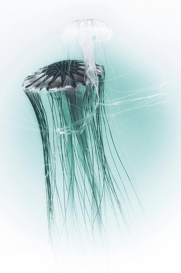 Japanese Sea Nettles Jellyfish by Marianna Mills