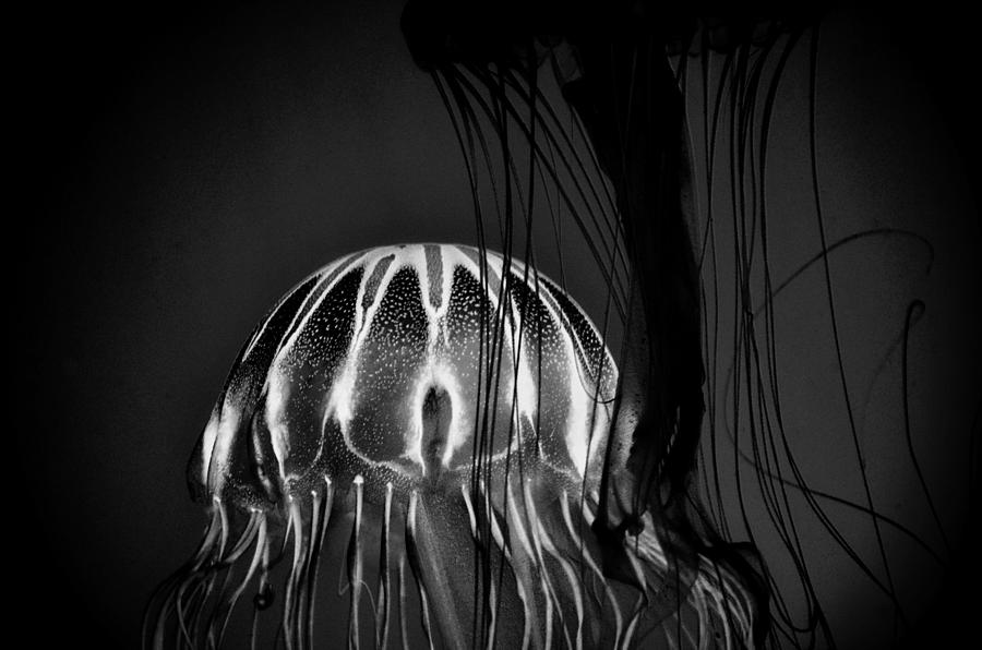 Japanese Sea Nettles Jellyfish - Noir by Marianna Mills