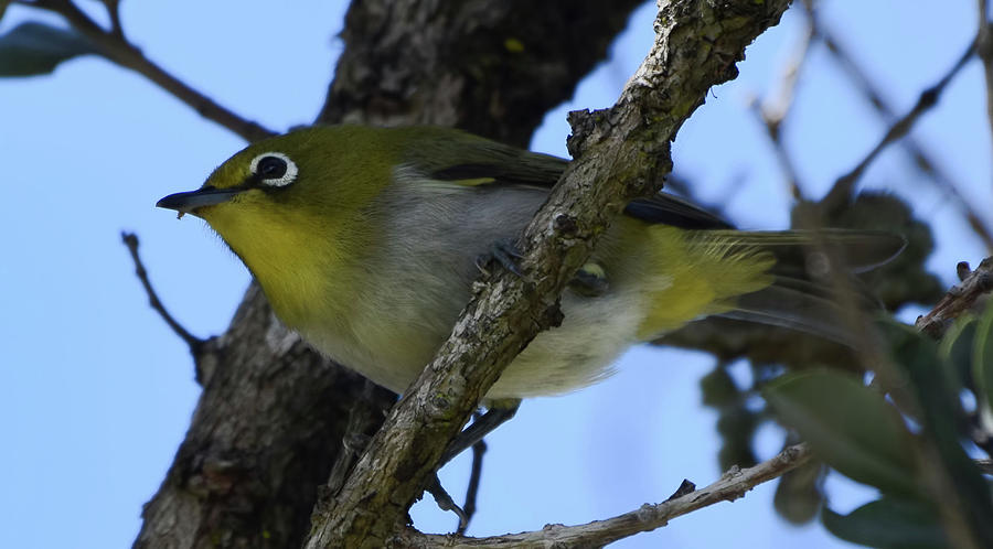 Japanese White Eye by Pamela Walton
