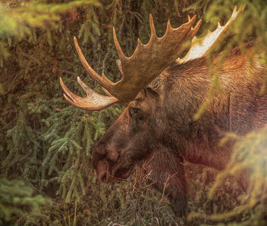 Jasper National Park Moose by Dan Sproul