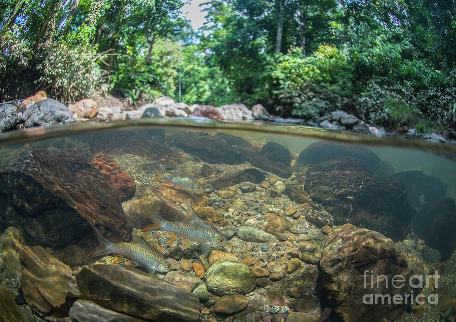 Nobody Photograph - Javaen Barbs In Freshwater Stream by Scubazoo/science Photo Library