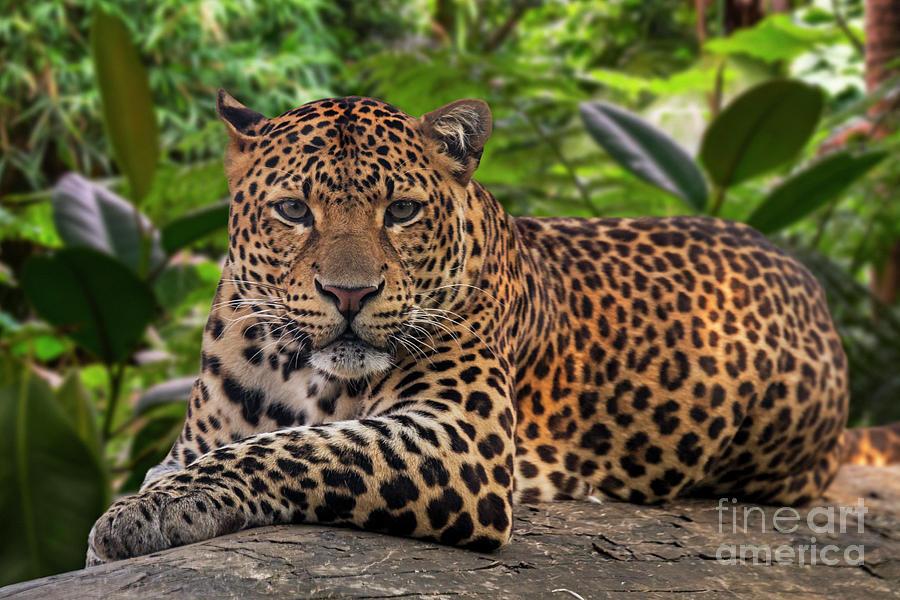 Javan Leopard by Arterra Picture Library
