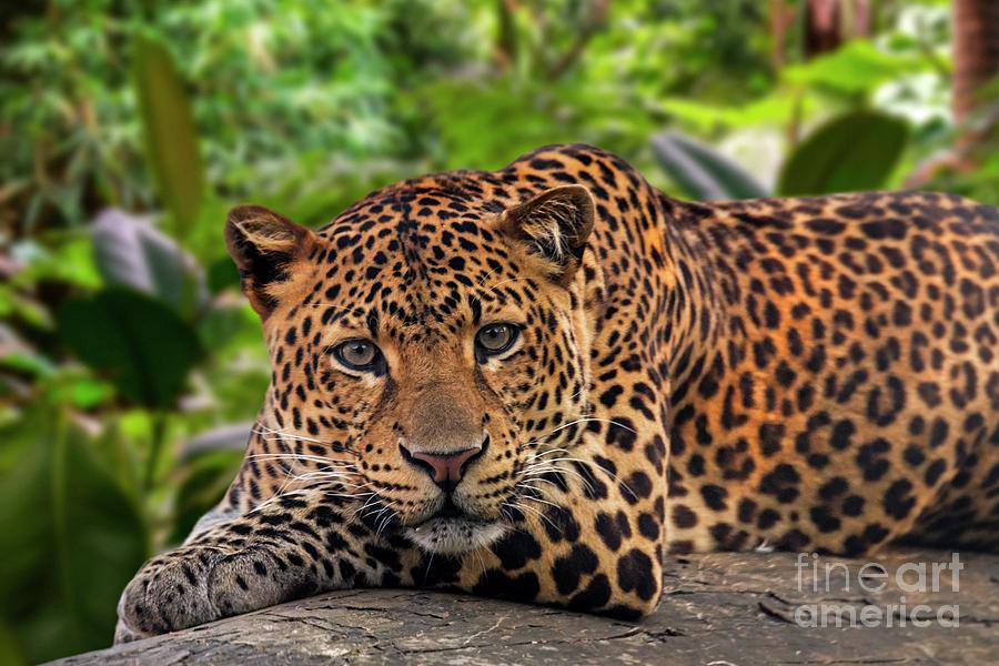 Javan Leopard in Rainforest by Arterra Picture Library