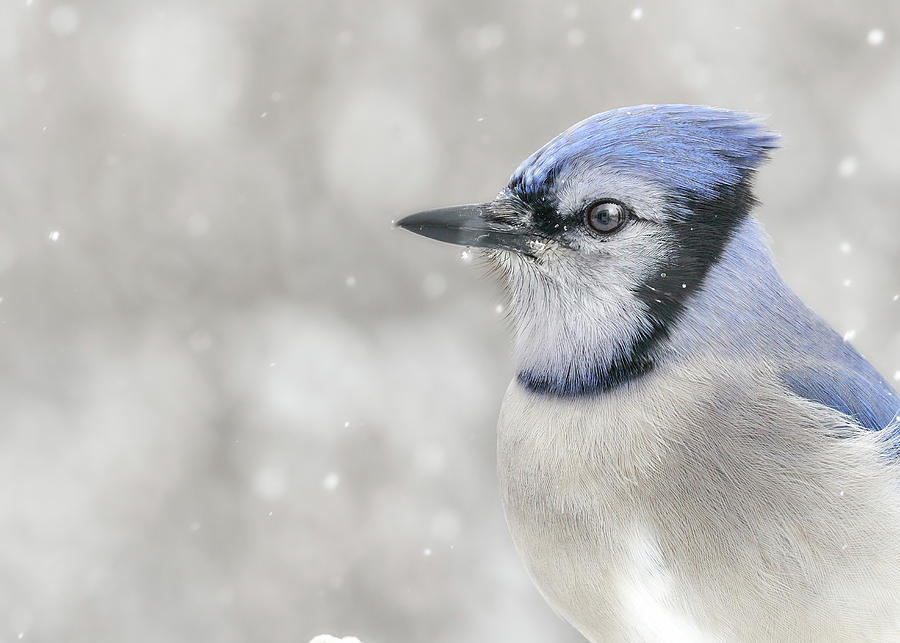 Jay In The Snow by Jim Hughes