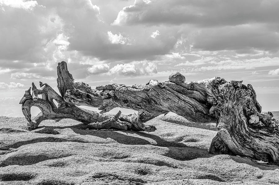 Pine Trees Photograph - Jeffrey Pine On Sentinel Dome by Joseph S Giacalone