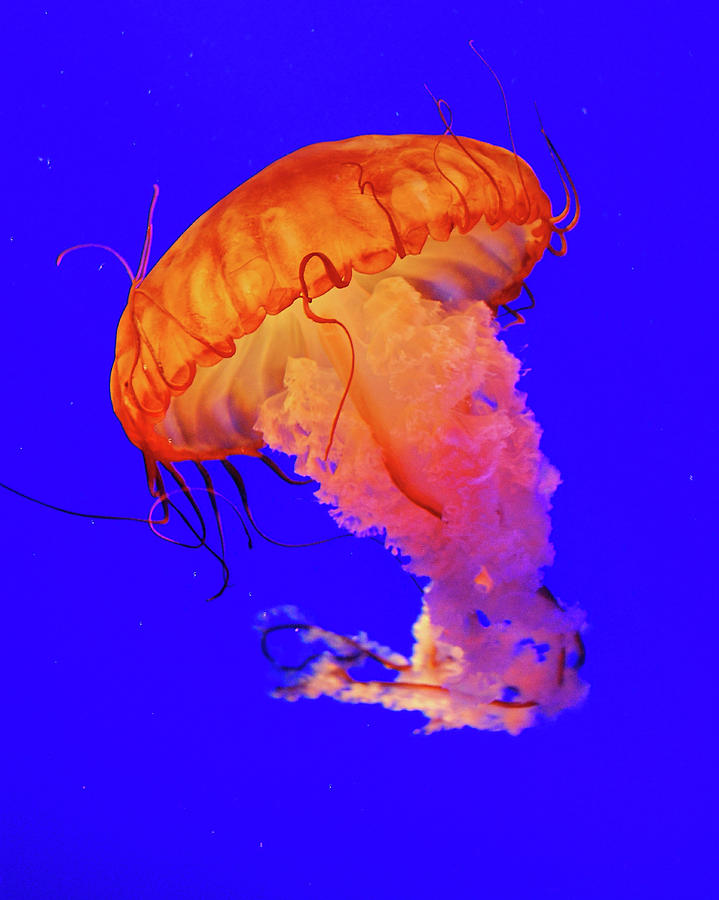 Underwater Photograph - Jelly Fish by Davidhuiphoto
