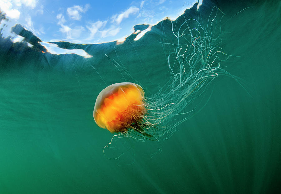 Jellyfish, Alaska Photograph by Paul Souders
