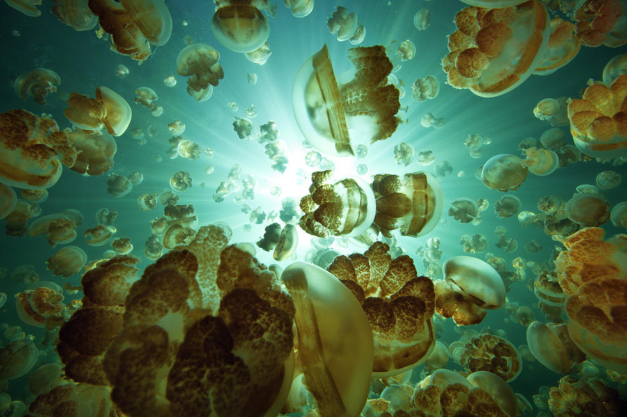 Jellyfish Lake Photograph by Michele Westmorland
