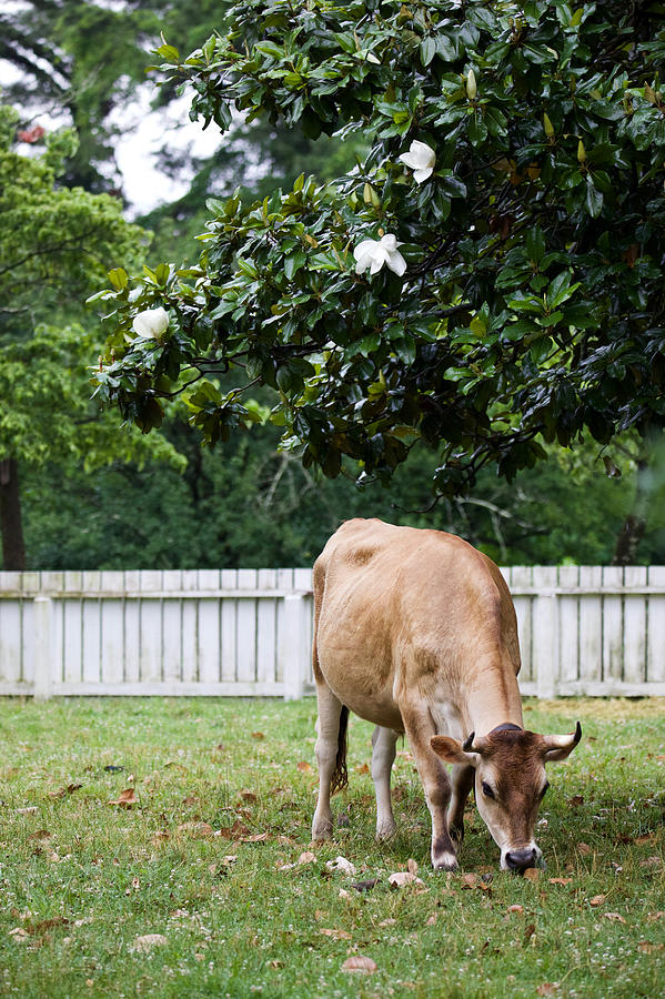 Jersey Beneath a Magnolia Tree  by Rachel Morrison