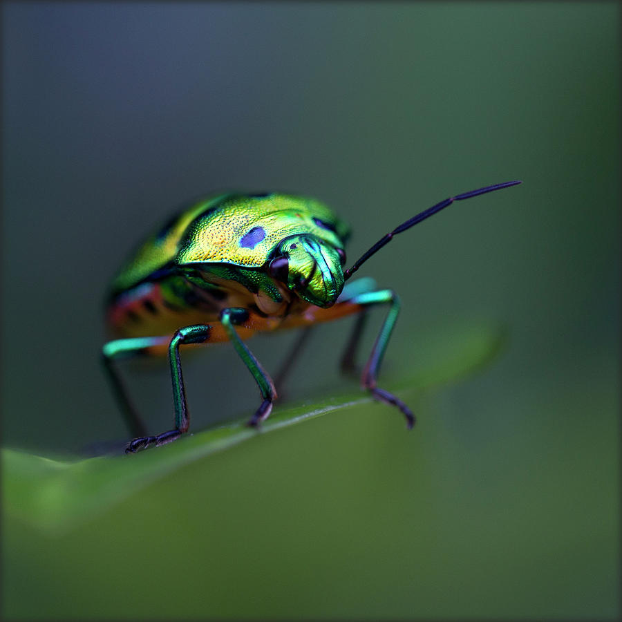 Jewel Bug, Auroville, Tamil Nadu, India Photograph by Lal