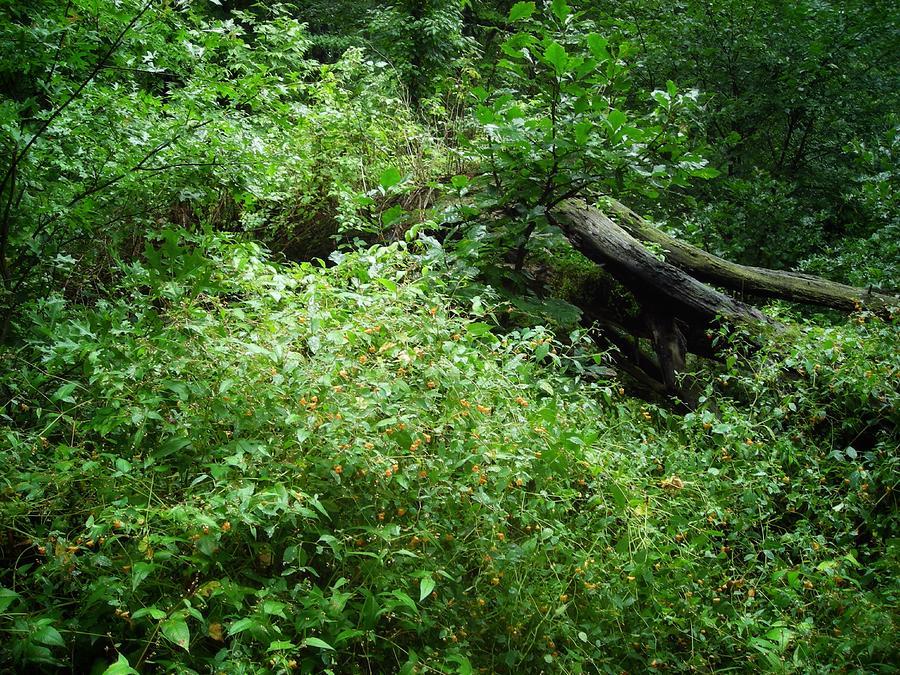 Jewel Weed Jungle Photograph