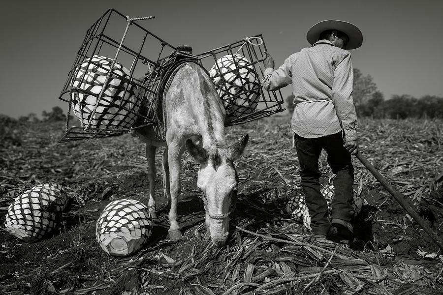 Jimador Photograph - Jimador in an Agave Field in Mexico by Dane Strom