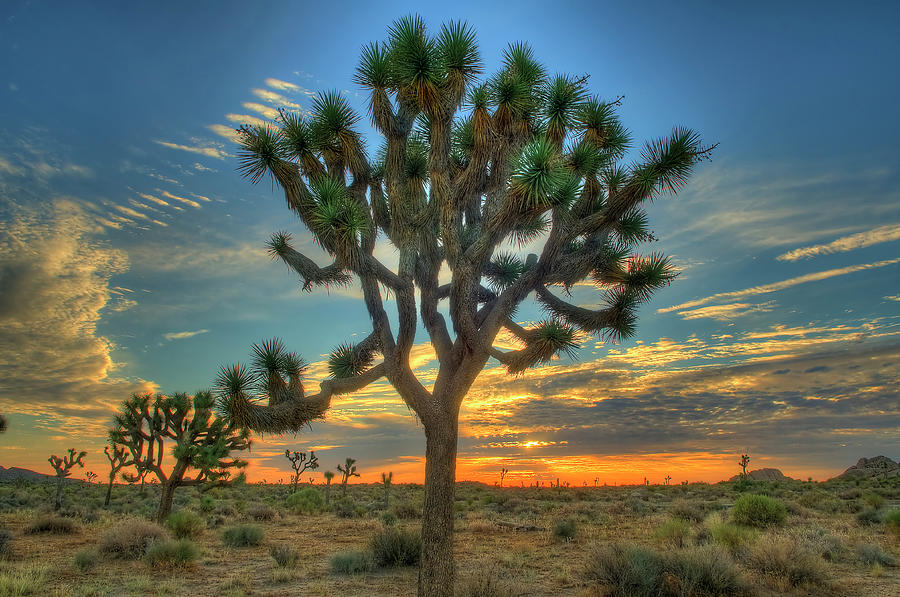 Joshua Tree At Sunrise Photograph by Photograph By Kyle Hammons