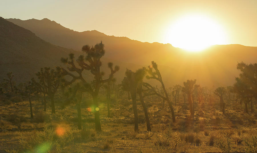 Joshua Tree at Sunset by Amanda Rimmer