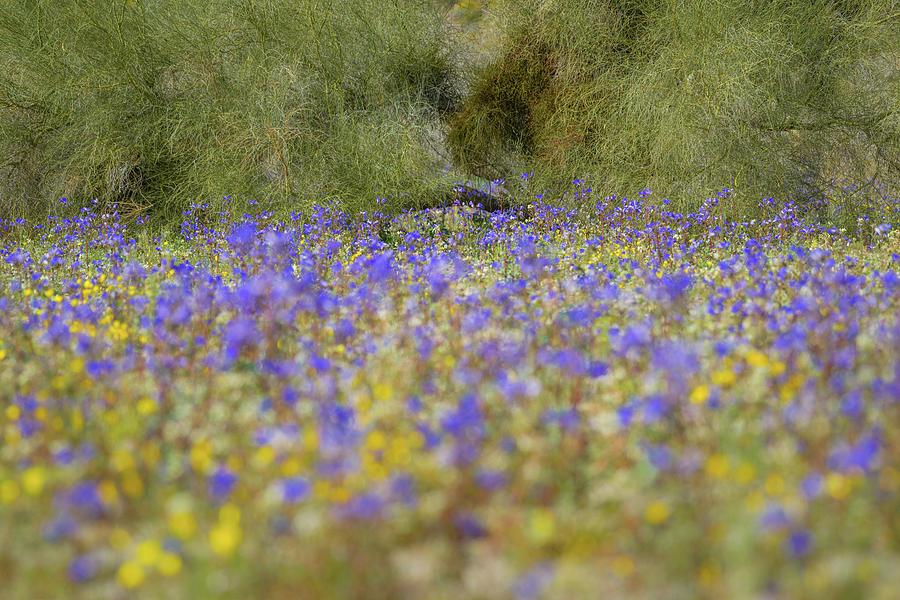 Joshua Tree - Desert Bells and Palo Verde by Alexander Kunz