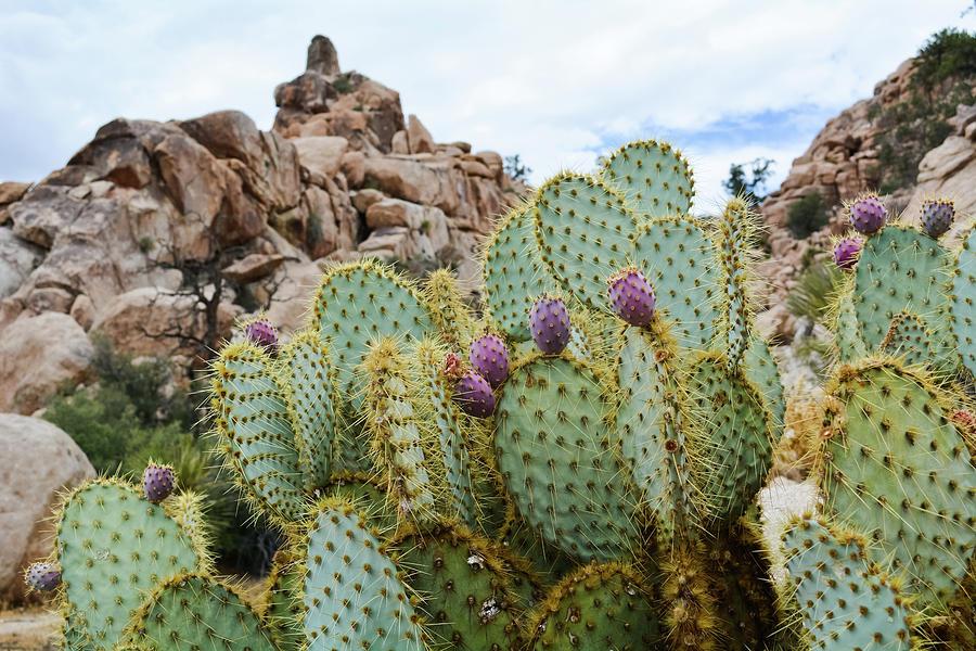Joshua Tree National Park Cactus by Kyle Hanson