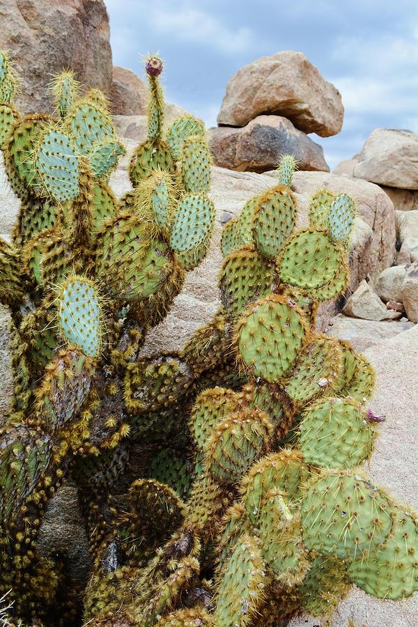 Joshua Tree National Park Cactus Portrait by Kyle Hanson