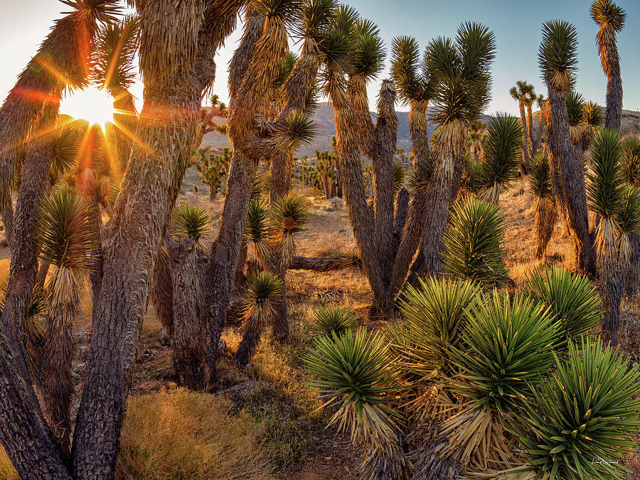 Bright Photograph - Joshua Trees by Leland D Howard