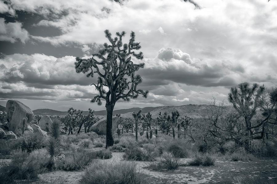 Joshua Trees by Sandra Selle Rodriguez