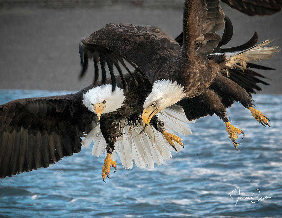Jousting Eagles by James Capo