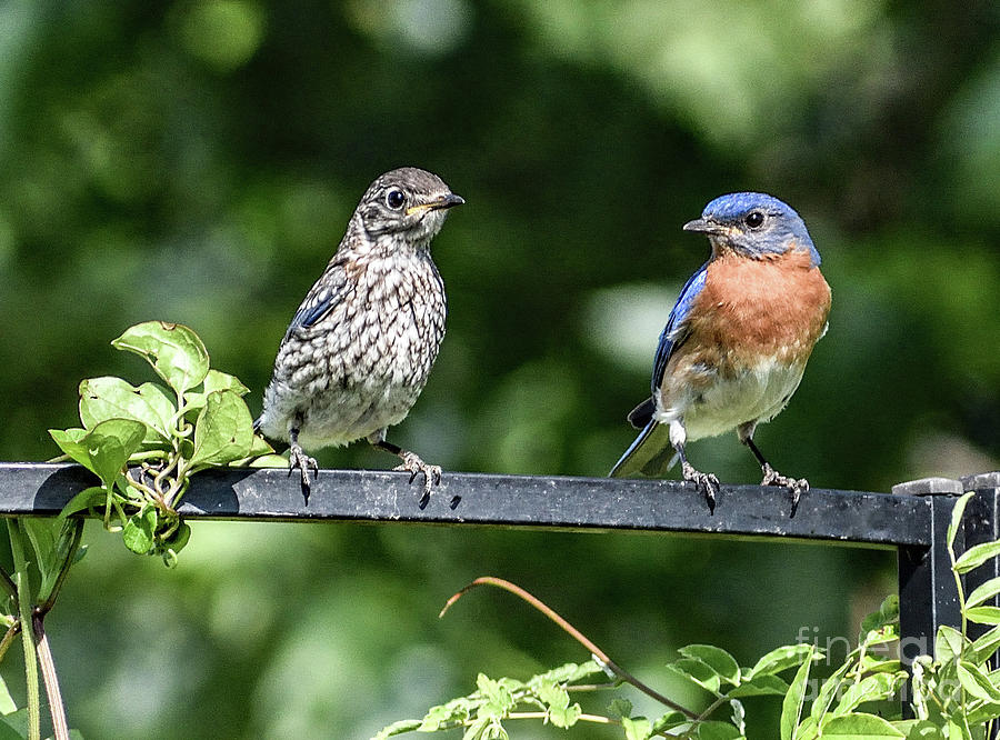 Jr Hanging Out With Papa Eastern Bluebird by Cindy Treger