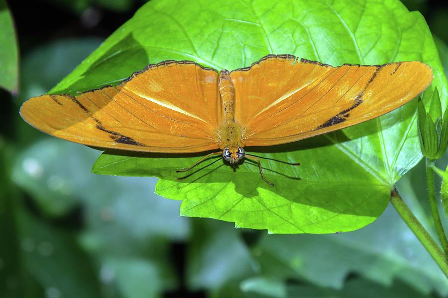 Julia Longwing Butterfly 6403-040619 by Tam Ryan