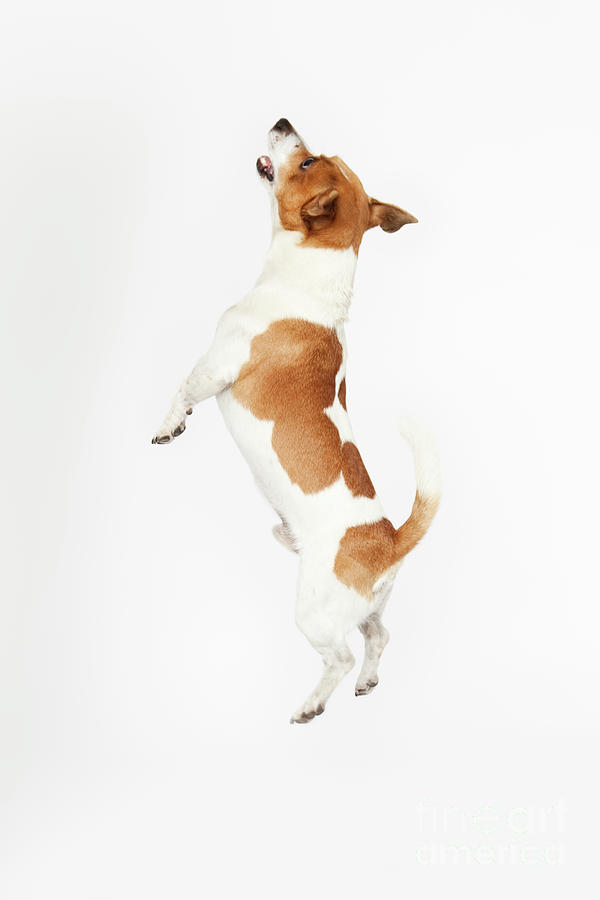 Jumping Jack Russel Photograph by Tails