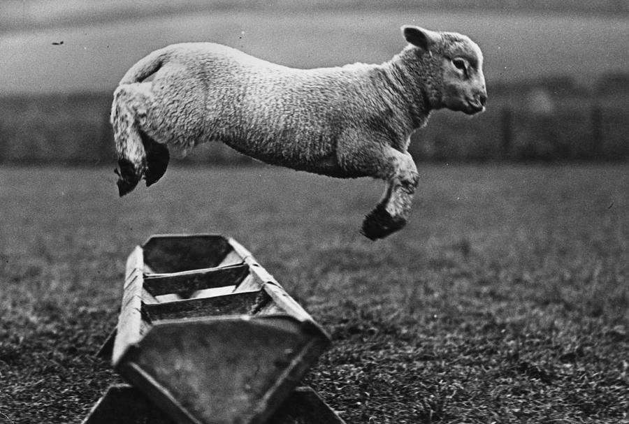 Jumping Lamb Photograph by Fox Photos