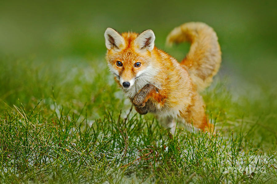 Fur Photograph - Jumping Red Fox, Vulpes Vulpes by Ondrej Prosicky